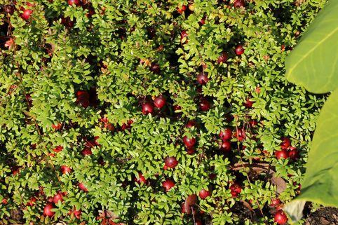 Cranberry / Großfruchtige Moosbeere - Vaccinium macrocarpon