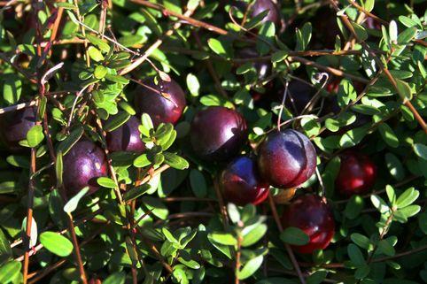 Cranberry / Moosbeere 'Pilgrim' - Vaccinium macrocarpon 'Pilgrim'