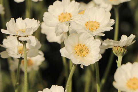 Dalmatiner-Silber-Garbe - Achillea ageratifolia