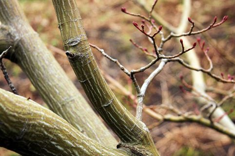 Davids-Ahorn / Schlangenhaut-Ahorn - Acer davidii