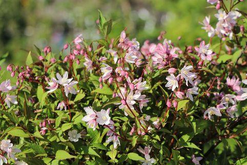 Deutzie / Maiblumenstrauch / Sternchenstrauch Proven Winners ® 'Yuki Cherry Blossom' ® - Deutzia x hybrida Proven Winners ® 'Yuki Cherry Blossom' ®
