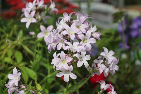 Dolden-Glockenblume 'Loddon Anne' - Campanula lactiflora 'Loddon Anne'