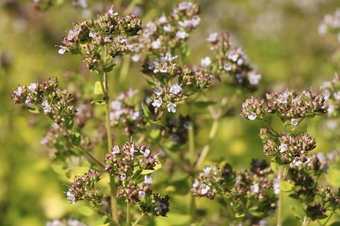 Dost 'Thumbles Variety' - Origanum vulgare 'Thumbles Variety'
