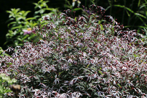 Dreiblattspiere - Gillenia trifoliata