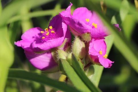 Dreimasterblume 'Pink Chablis' - Tradescantia x andersoniana 'Pink Chablis'