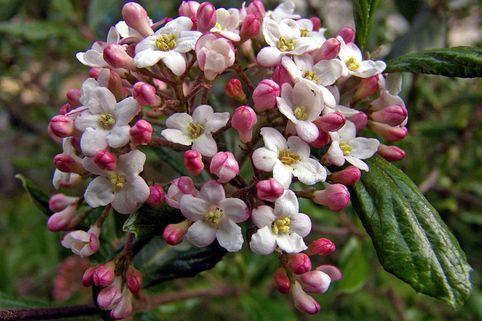 Duft-Schneeball 'Mohawk' - Viburnum burkwoodii 'Mohawk'
