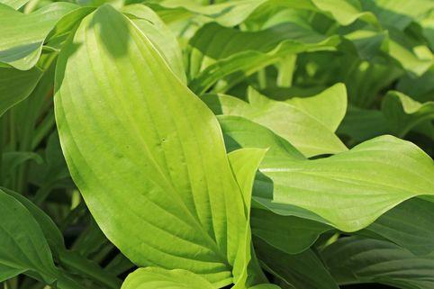Duftende Herzblattlilie - Hosta plantaginea