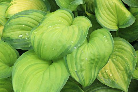 Duftende Lilien-Funkie 'Guacamole' - Hosta plantaginea 'Guacamole'