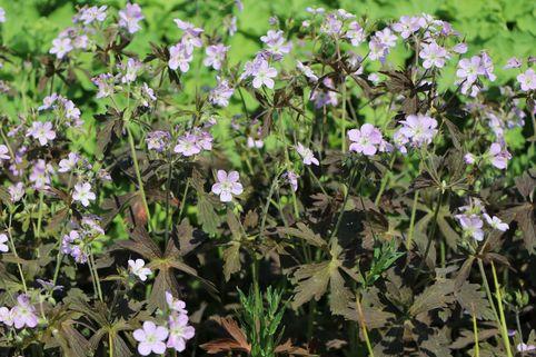 Dunkelblättriger Garten Storchschnabel - Geranium maculatum 'Espresso'