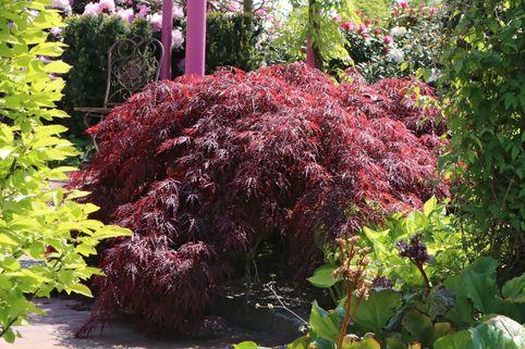 Dunkelroter Schlitzahorn 'Garnet' - Acer palmatum 'Garnet'