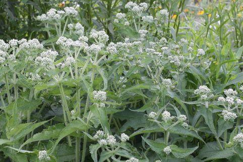 Durchwachsener Wasserdost - Eupatorium perfoliatum