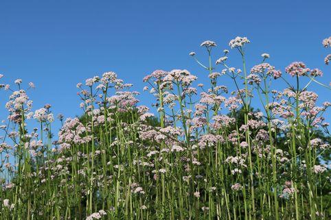 Echter Apotheker-Baldrian - Valeriana officinalis