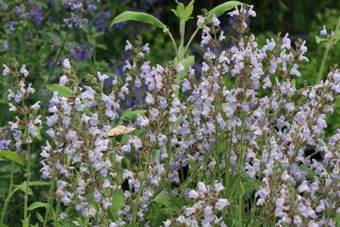 Echter Salbei / Apotheker Salbei / Gewürz-Salbei - Salvia officinalis