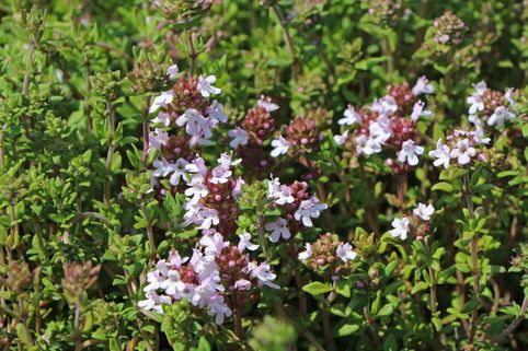 Echter Thymian, Quendel - Thymus vulgaris