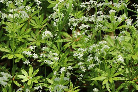 Echter Waldmeister - Galium odoratum