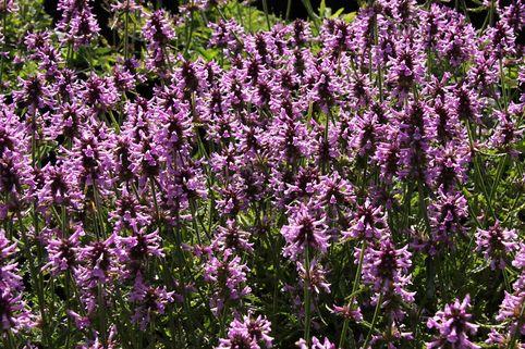 Echter Ziest / Heilender Ziest - Stachys officinalis