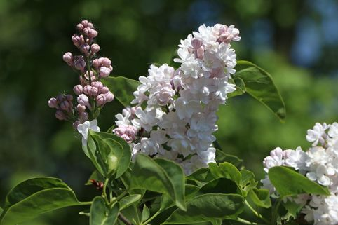 Edelflieder 'Beauty of Moscow' - Syringa vulgaris 'Beauty of Moscow'