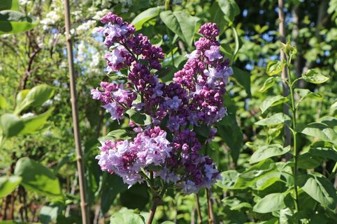 Edelflieder 'Katharine Havemeyer' - Syringa vulgaris 'Katharine Havemeyer'