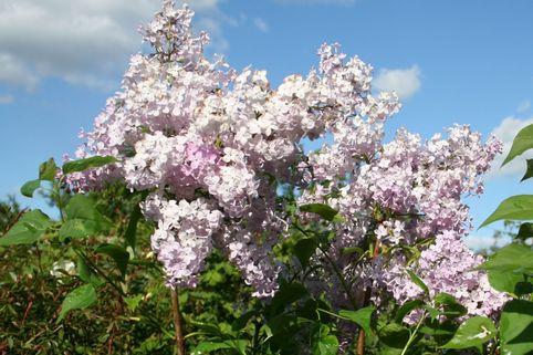 Edelflieder 'Nadezhda' - Syringa vulgaris 'Nadezhda'