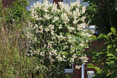 Edelflieder 'Primrose' - Syringa vulgaris 'Primrose'