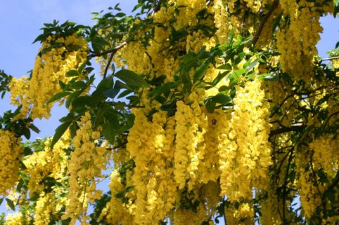 Edelgoldregen 'Vossii' - Laburnum watereri 'Vossii'