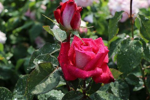 Edelrose 'Acapella' ® - Rosa 'Acapella' ®