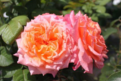 Edelrose 'Albrecht Dürer Rose' ® - Rosa 'Albrecht Dürer Rose' ®