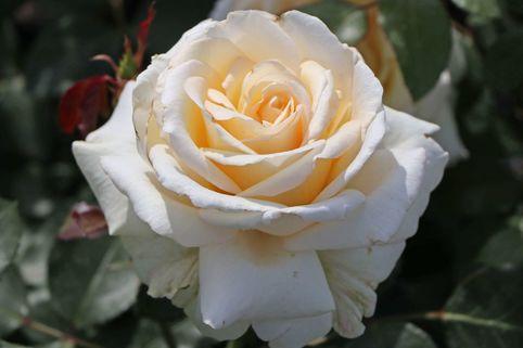 Edelrose 'Ambiente' ® - Rosa 'Ambiente' ®