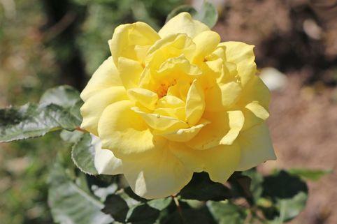 Edelrose 'Aperitif' ® - Rosa 'Aperitif' ®