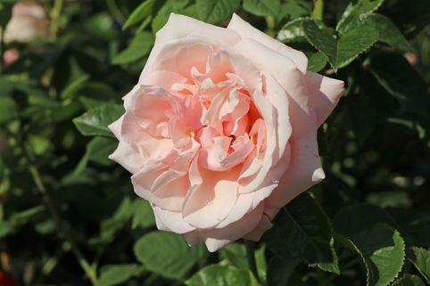 Edelrose 'Aphrodite' ® - Rosa 'Aphrodite' ®