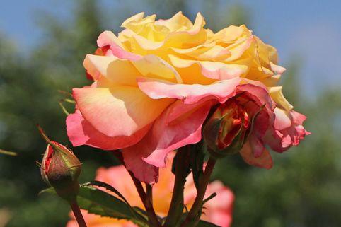 Edelrose 'Aquarell' ® - Rosa 'Aquarell' ®