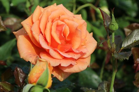 Edelrose 'Ashram' ® - Rosa 'Ashram' ®