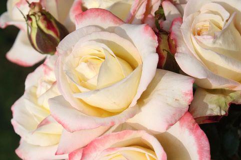Edelrose 'Athena' ® - Rosa 'Athena' ®