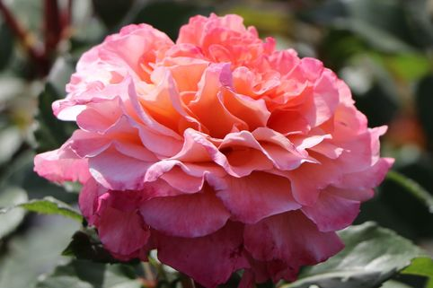Edelrose 'Augusta Luise' ® - Rosa 'Augusta Luise' ®