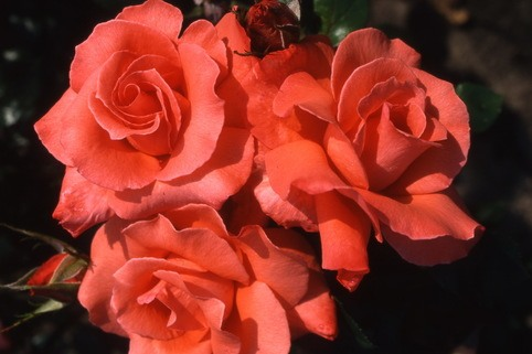 Edelrose 'Ave Maria' ® - Rosa 'Ave Maria' ®
