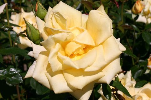 Edelrose 'Berolina' ® - Rosa 'Berolina' ®