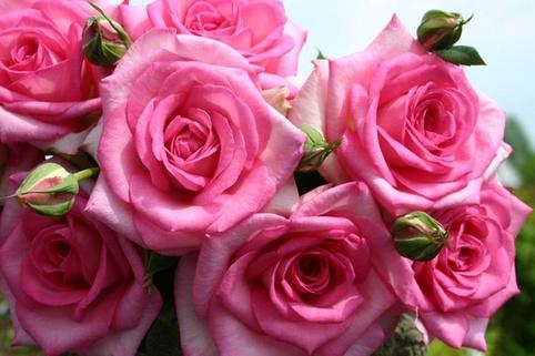 Edelrose 'Beverly' ® - Rosa 'Beverly' ®