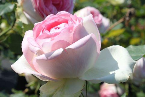 Edelrose 'Biedermeier Garden' - Rosa 'Biedermeier Garden'