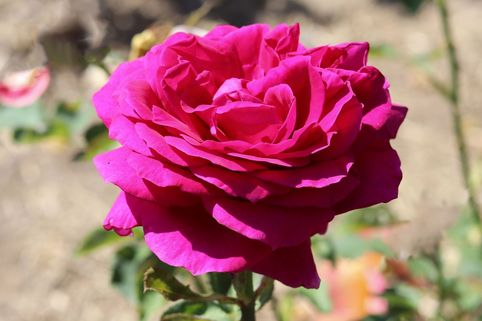 Edelrose 'Big Purple' ® - Rosa 'Big Purple' ®