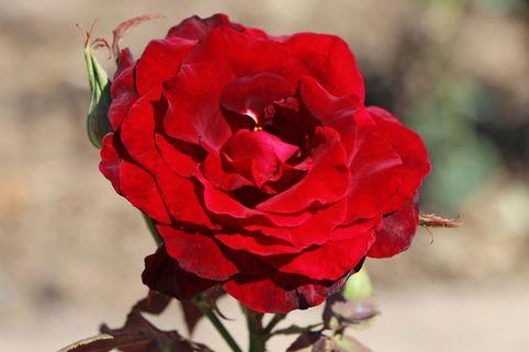 Edelrose Black Lady' ® - Rosa 'Black Lady' ®