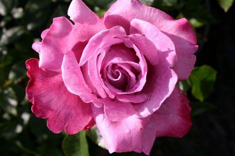 Edelrose 'Blue River' ® - Rosa 'Blue River' ®