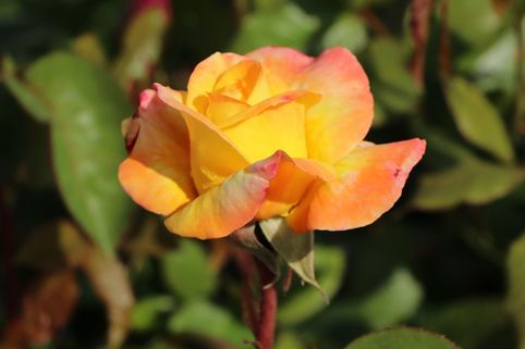 Edelrose 'Canary' ® - Rosa 'Canary' ®