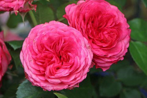Edelrose 'Candy Rokoko' ® - Rosa 'Candy Rokoko' ® / Noblesse ® Spray-Rose