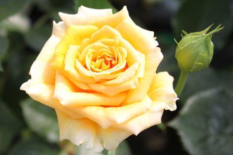 Edelrose 'Cappuccino' ® - Rosa 'Cappuccino' ®