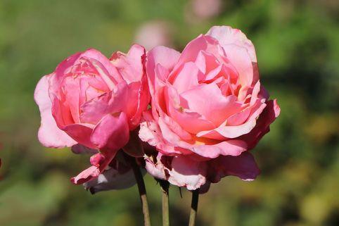 Edelrose 'Carina' ® - Rosa 'Carina' ®