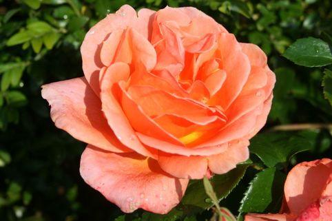 Edelrose 'Cherry Brandy 85' ® - Rosa 'Cherry Brandy 85' ®