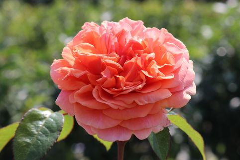 Edelrose 'Chippendale' ® - Rosa 'Chippendale' ®
