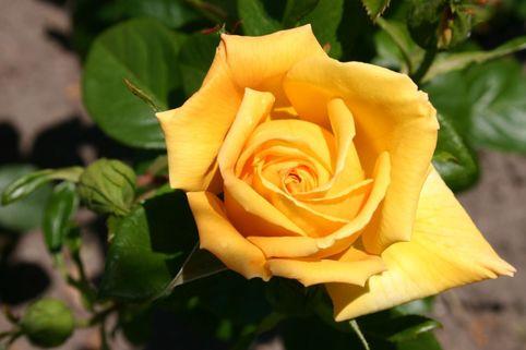 Edelrose 'Christel von der Post' ® - Rosa 'Christel von der Post' ®