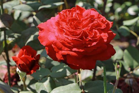 Edelrose 'Duftfestival' ® - Rosa 'Duftfestival' ®