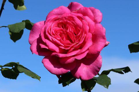 Edelrose 'Duftrausch' ® - Rosa 'Duftrausch' ®